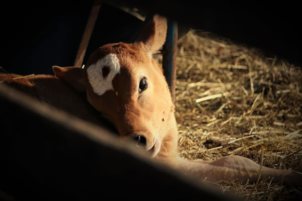 Calf In Dark Stall